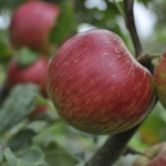 orchard-3416122_1920